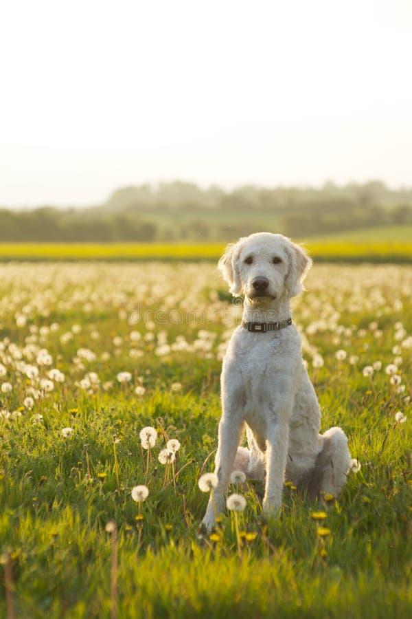 Labradoodle-Hund saß auf einem Gebiet stockbild