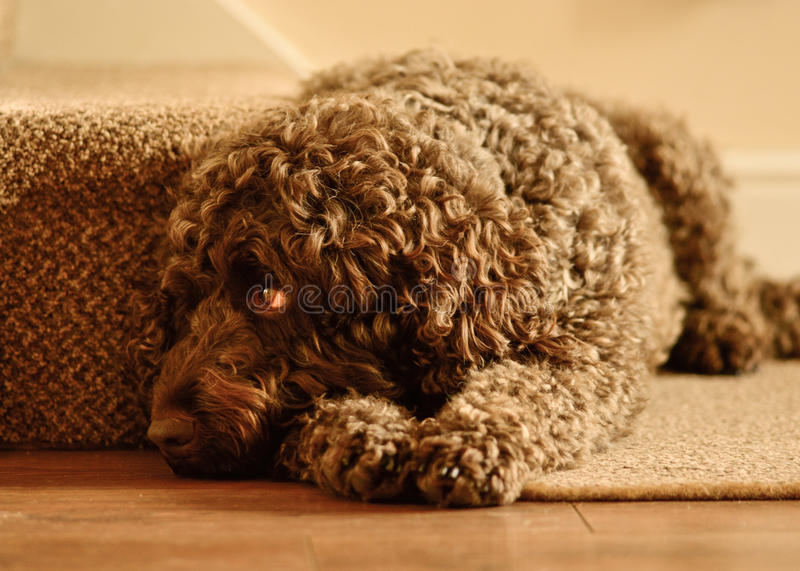 Labradoodle laying down royalty free stock photo