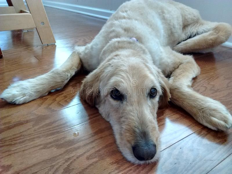 Labradoodle laying on floor. Labradoodle with Labrador's furr type, laying on a wooden floor, looking up stock photos