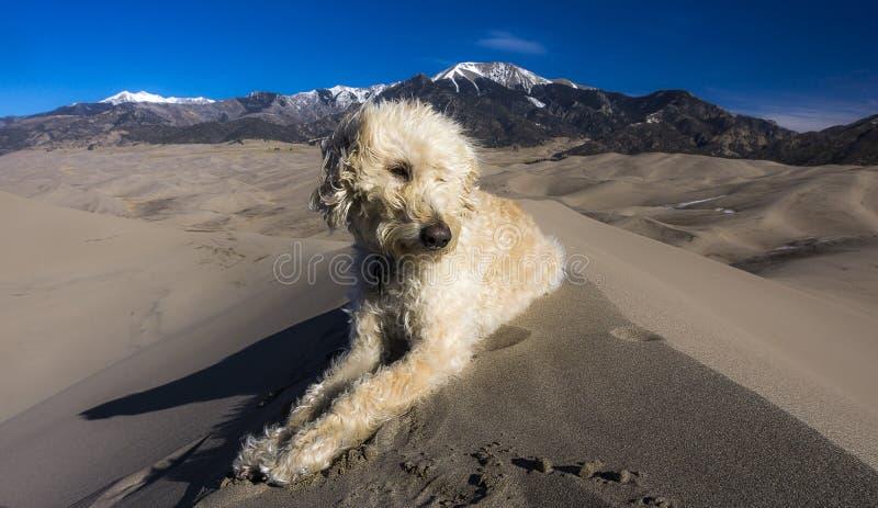 Labradoodle na crista da duna fotos de stock royalty free