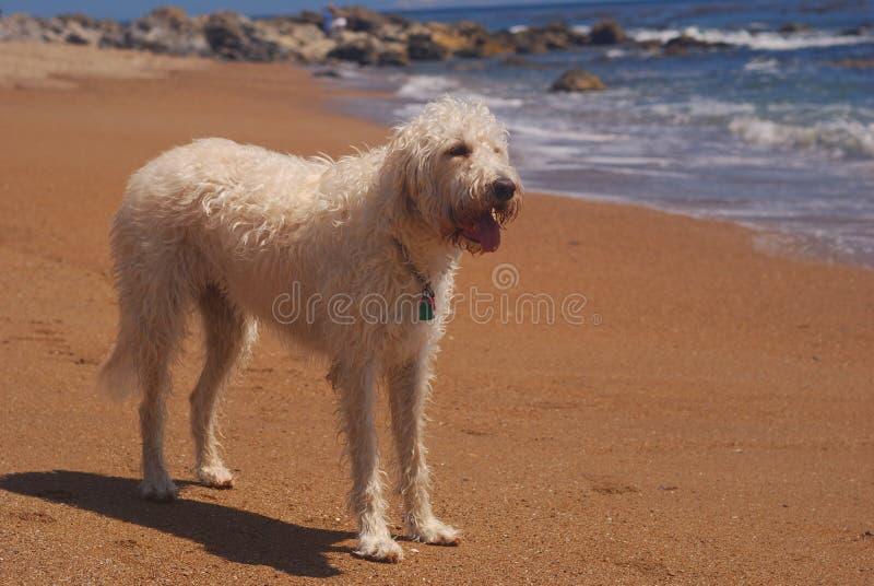 Labradoodle na praia foto de stock royalty free