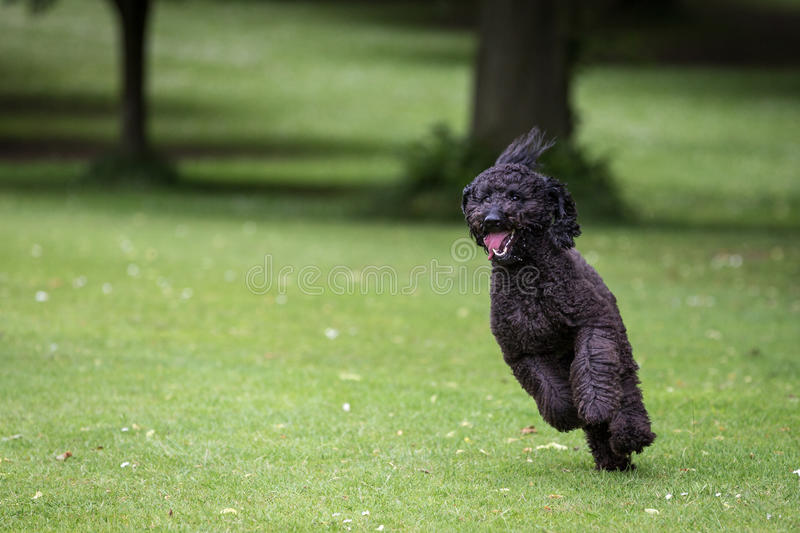 Labradoodle. In a Natural Setting royalty free stock image