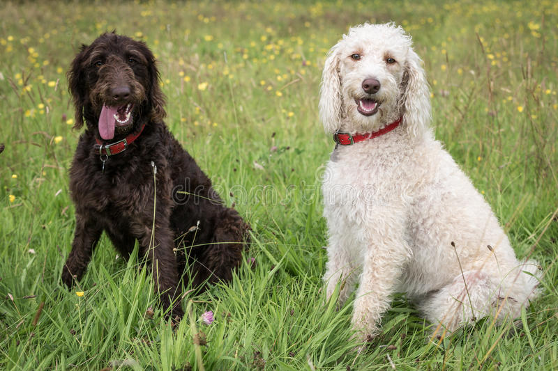 Labradoodle. In a Natural Setting stock images