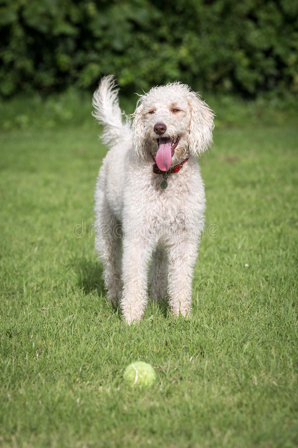 Labradoodle. In a Natural Setting stock image