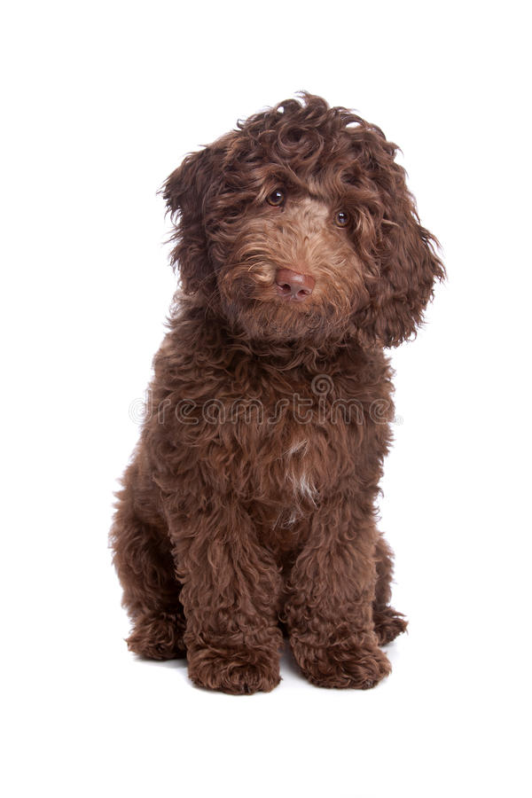 Labradoodle puppy. In front of a white background royalty free stock image