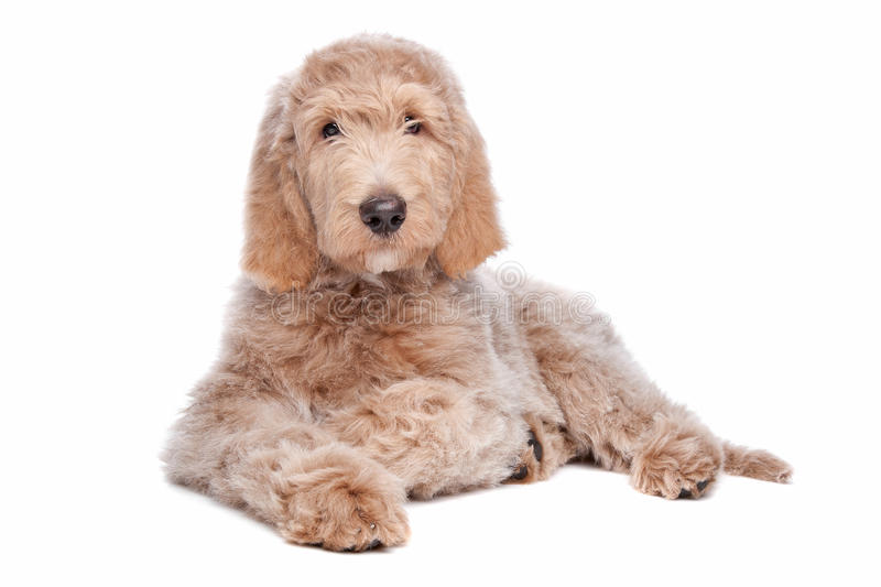 Labradoodle puppy. In front of a white background royalty free stock photo