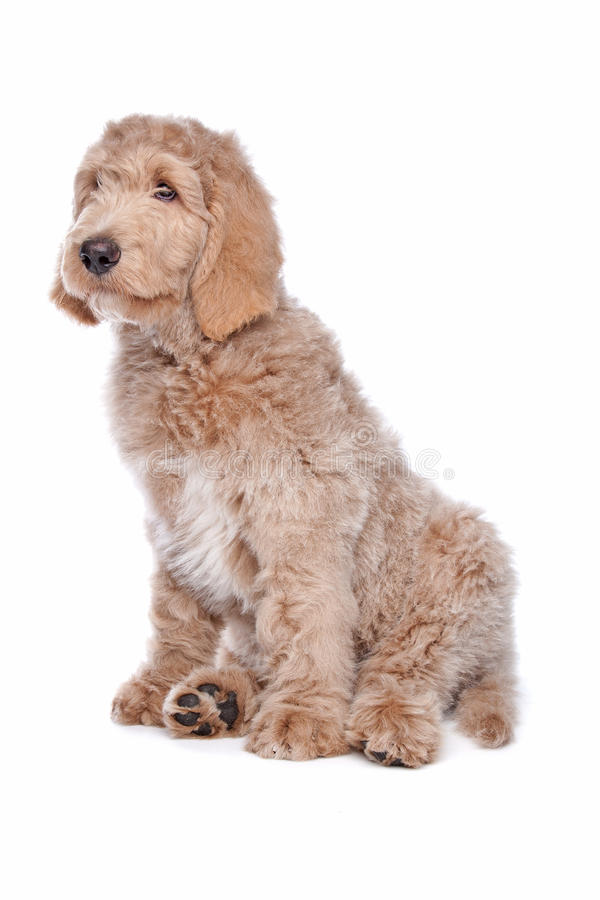 Labradoodle puppy stock photo
