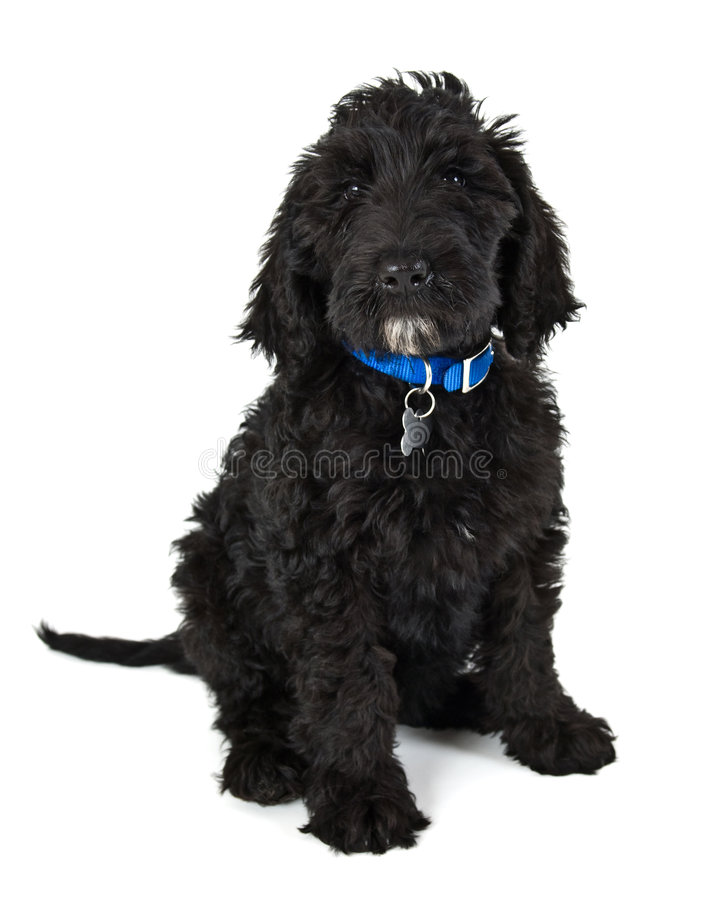 Labradoodle puppy stock image
