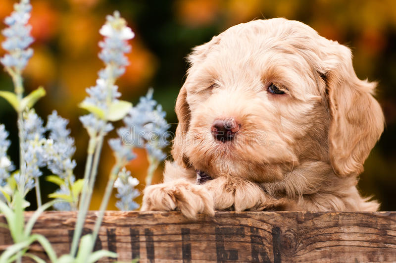 Labradoodle puppy royalty free stock images