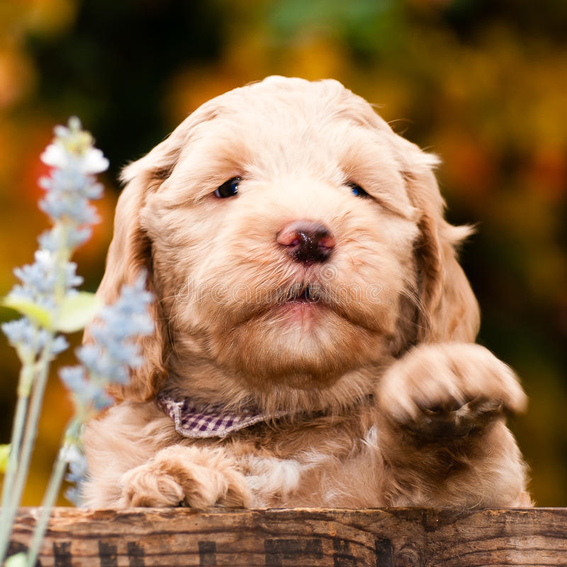 Labradoodle puppy royalty free stock photos