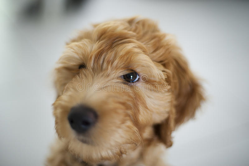 Labradoodle Puppy. Young Labradoodle Puppy - Brown In Colour royalty free stock photos