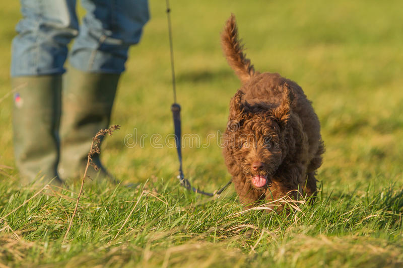Labradoodle young. A Labradoodle young in the field stock images