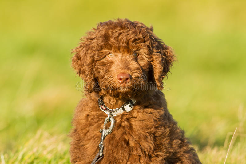 Labradoodle young. A Labradoodle young in the field ready for the fotoshoot stock photo