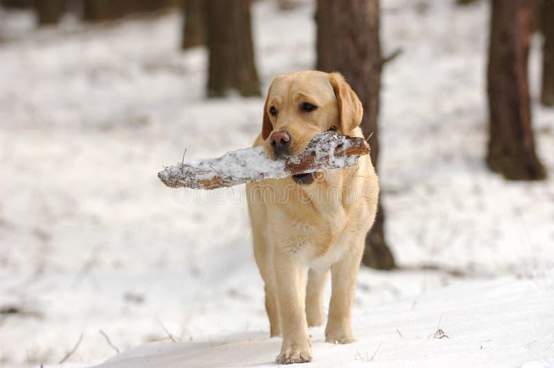 labrador играя снежок стоковые изображения