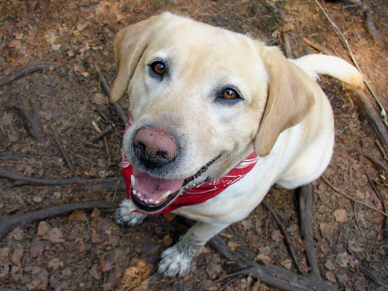 Labrador 02 royalty-vrije stock foto