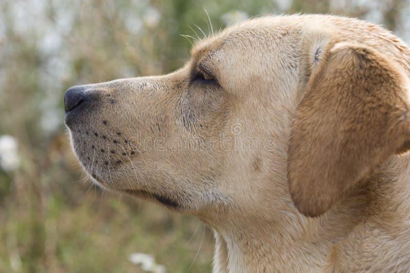 Labrador royalty-vrije stock foto's