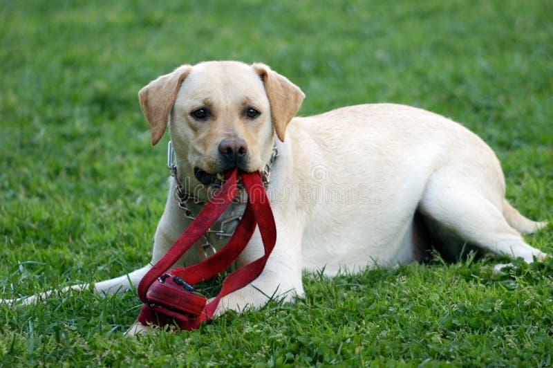 Labrador photos libres de droits