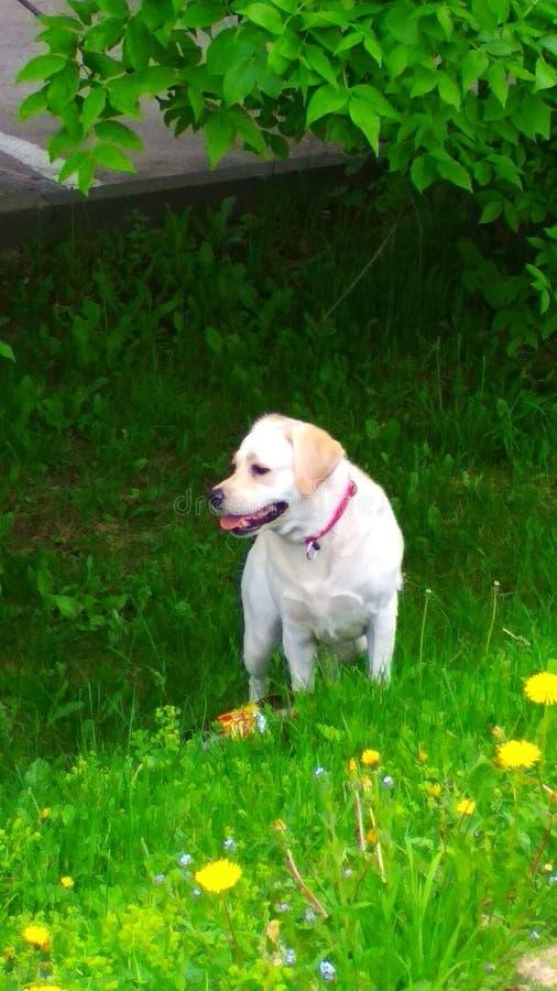 Labrador zdjęcia royalty free
