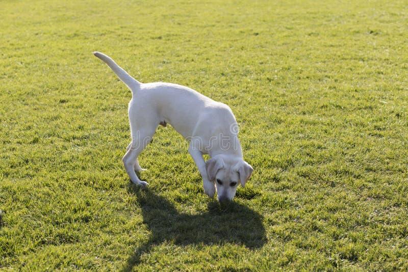 Labrador royaltyfri foto