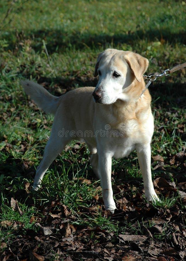 Labrador stockfoto