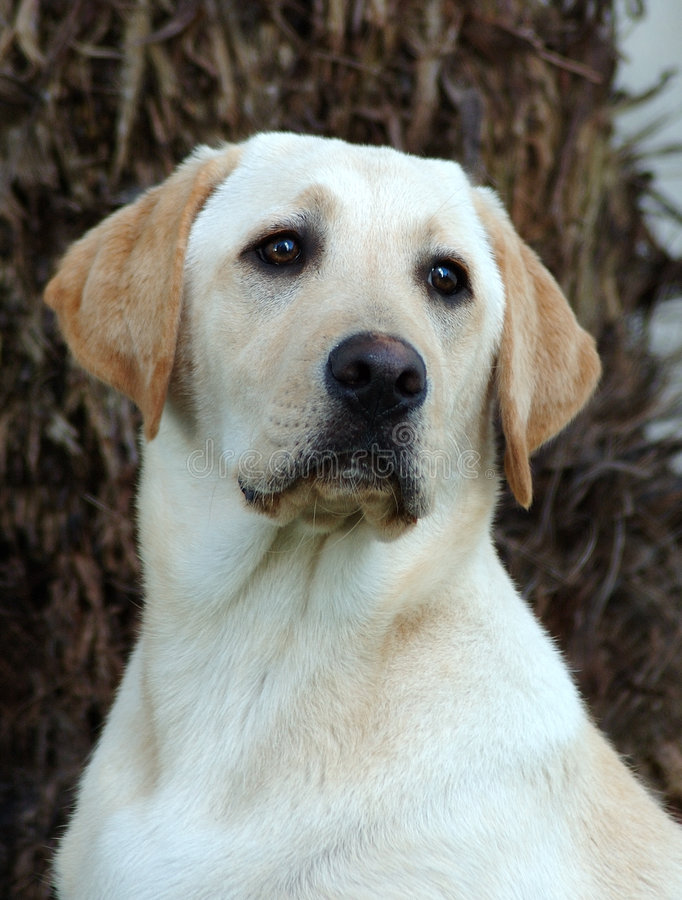 Labrador fotografia de stock royalty free