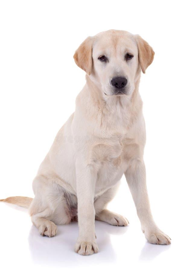 Labrador royalty-vrije stock foto