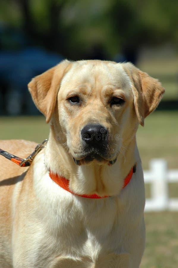 Labrador fotografie stock libere da diritti
