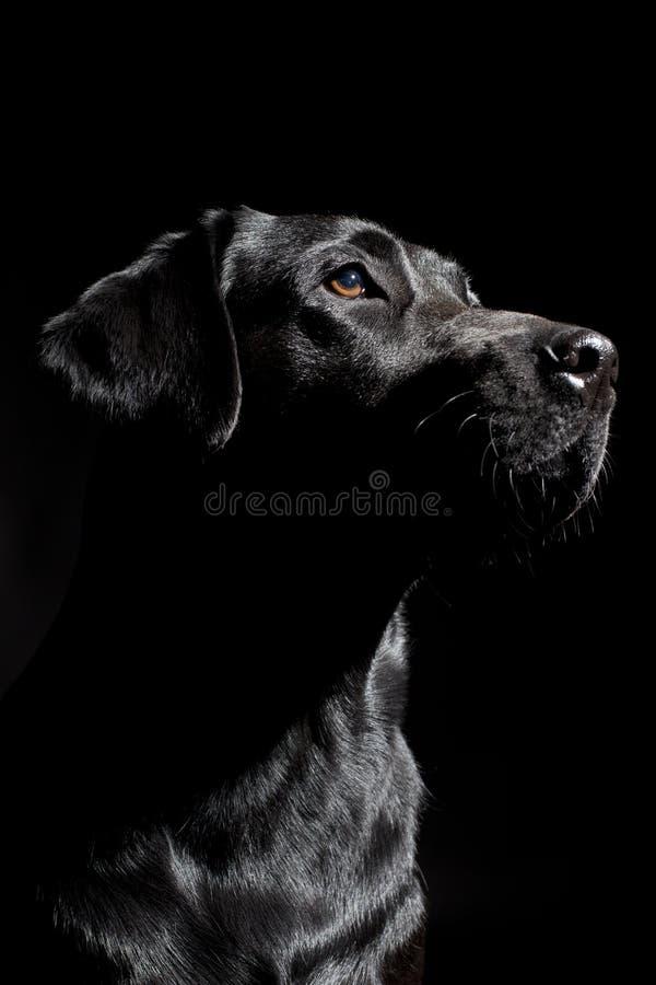 Labrador imagenes de archivo