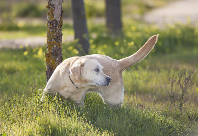 Download Labrador stock photo. Image of labrador, pedigreed, cute - 22950804