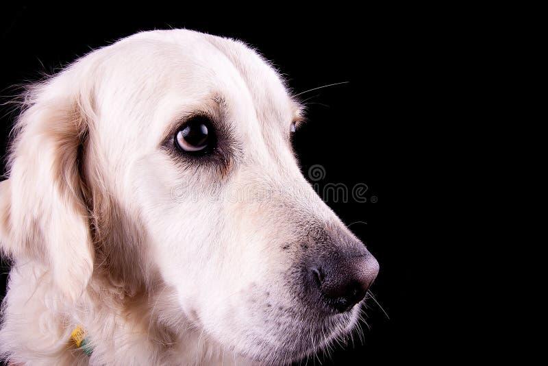 Download Labrador foto de archivo. Imagen de blanco, animal, perro - 42439908