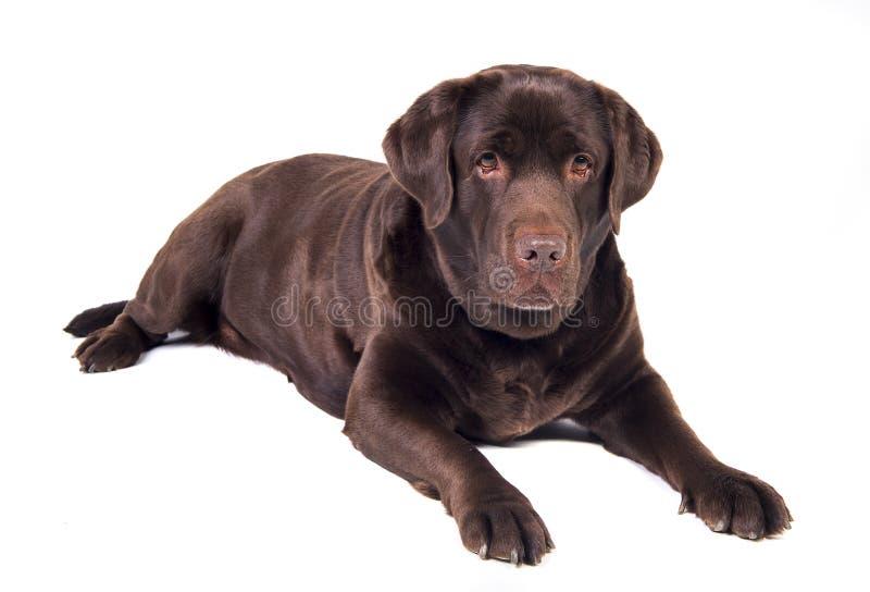 Labrador imagem de stock