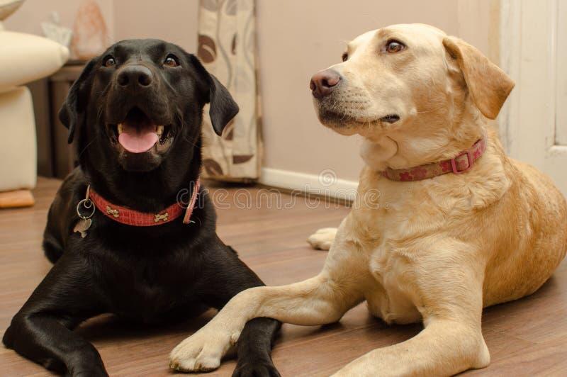 Labrador royalty-vrije stock afbeeldingen