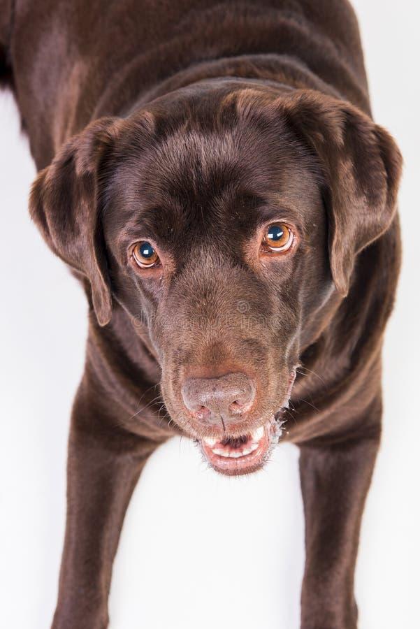 Labrador foto de stock