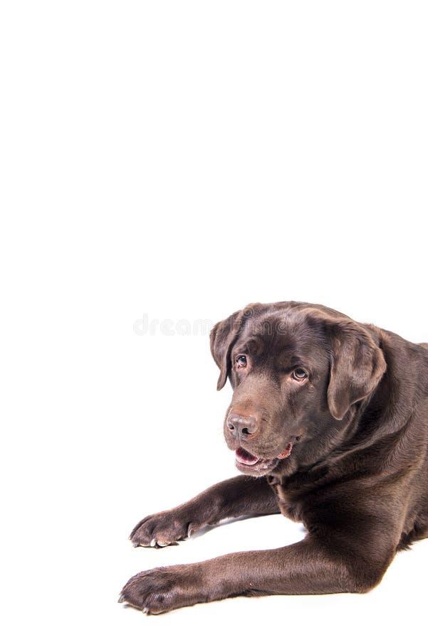 Labrador fotografia de stock