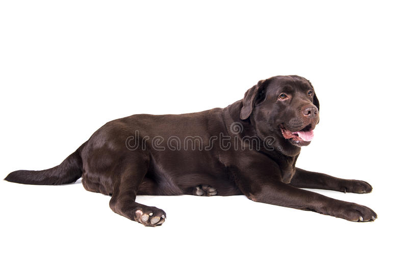 Labrador foto de stock royalty free