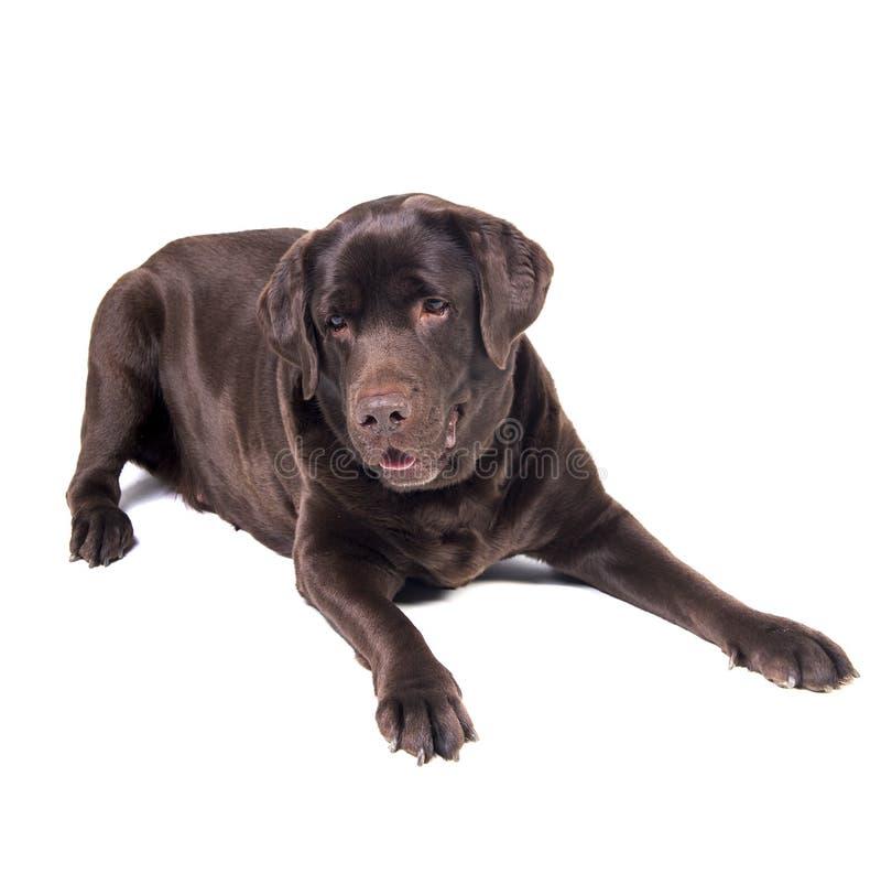 Labrador fotos de stock