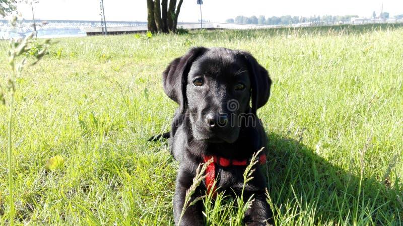 Labrador imagem de stock royalty free