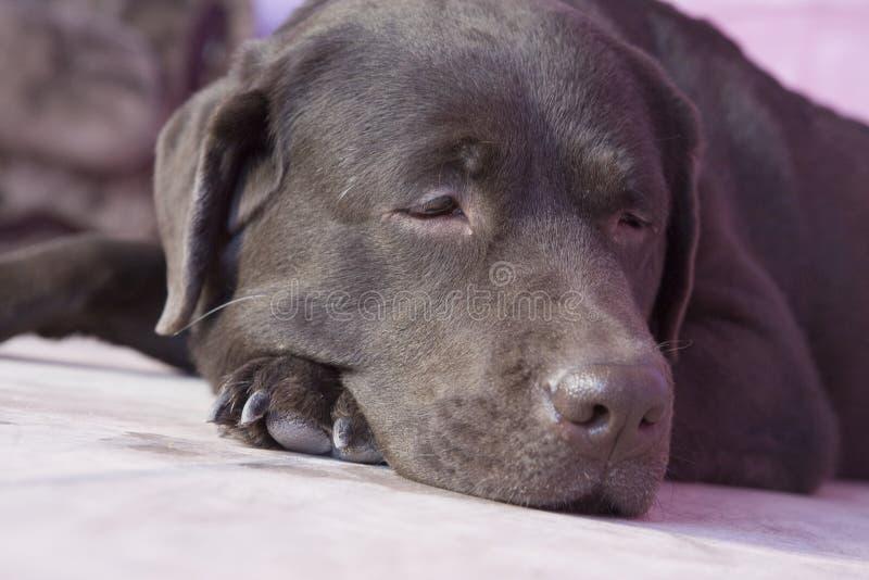 Download Labrador stock photo. Image of sadness, pets, lying, nature - 8479030