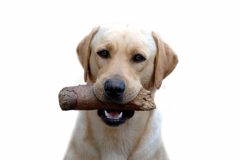 Download Labrador stock photo. Image of nature, sleep, down, pets - 855640