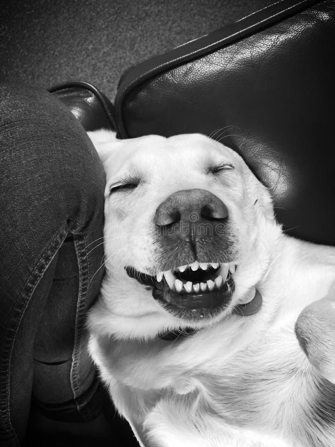 Labrador photo libre de droits