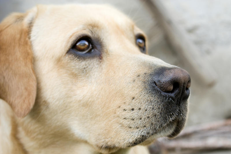 Download Labrador stock image. Image of labrador, mammal, beautiful - 9836339