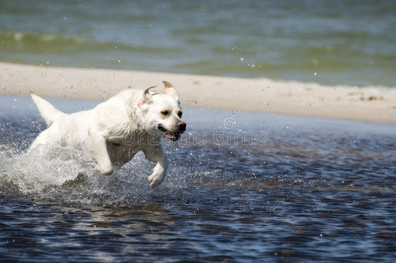 Labrador in actie stock fotografie