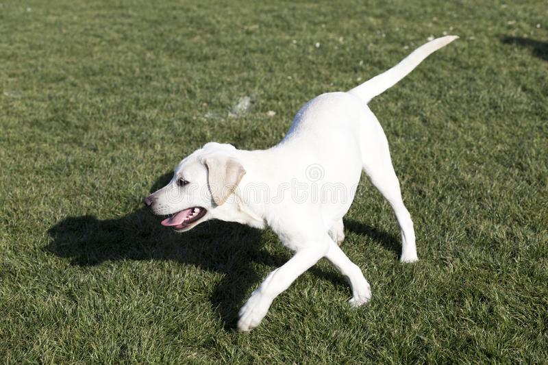 The Labrador Retriever. Labrador, also known as the retrievers, is a large breed of dogs, which are very suitable for a guide dog or a subway police dog and a royalty free stock image