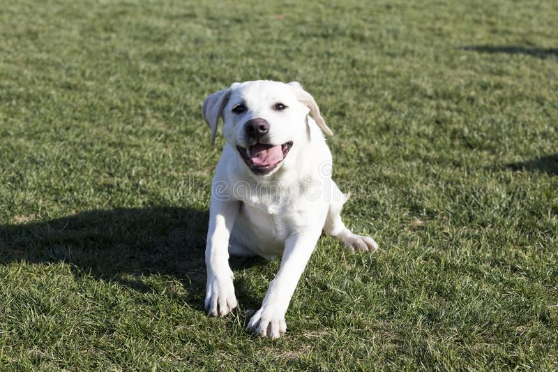 The Labrador Retriever. Labrador, also known as the retrievers, is a large breed of dogs, which are very suitable for a guide dog or a subway police dog and a stock photos