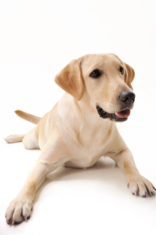 Labrador amarelo imagem de stock