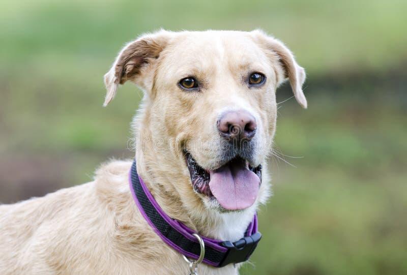 Labrador amarelo, great dane, collie misturou o cão da raça imagens de stock