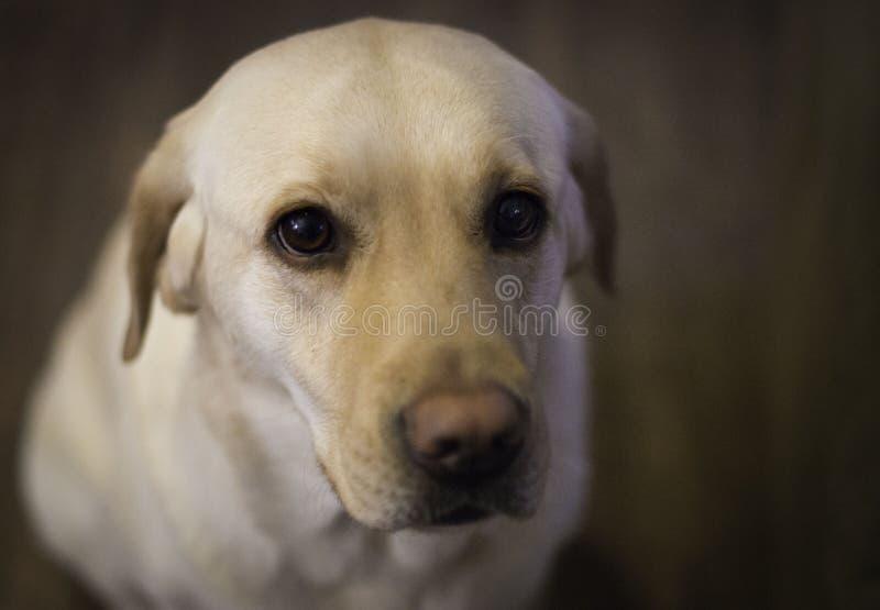 Labrador amarillo fotografía de archivo