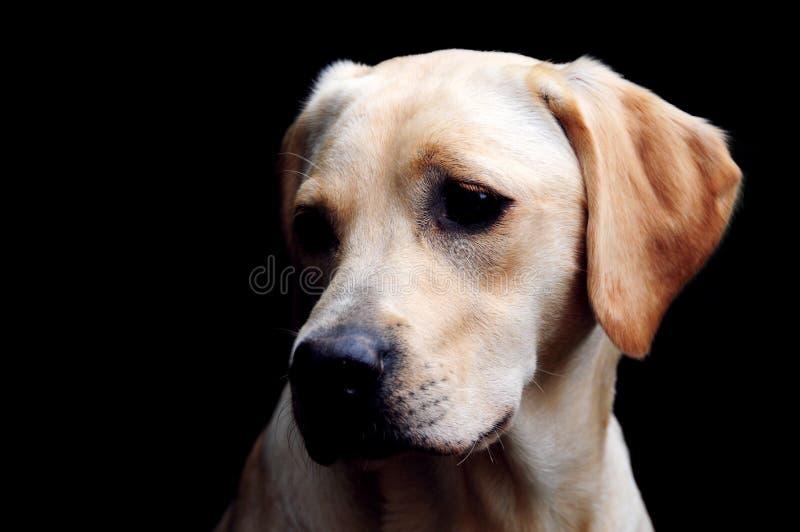 Labrador amarillo adorable fotos de archivo libres de regalías