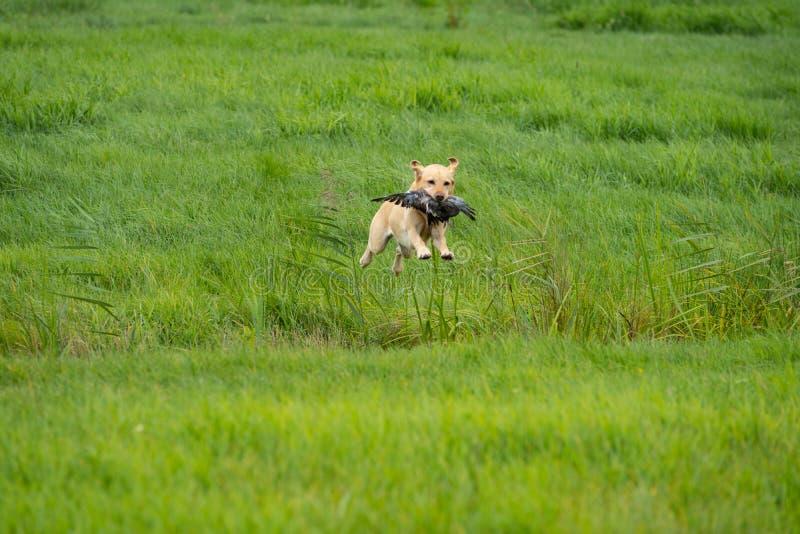 Labrador amarillo que salta sobre una zanja aporting una paloma en una prueba del perro de búsqueda en un campo fotografía de archivo