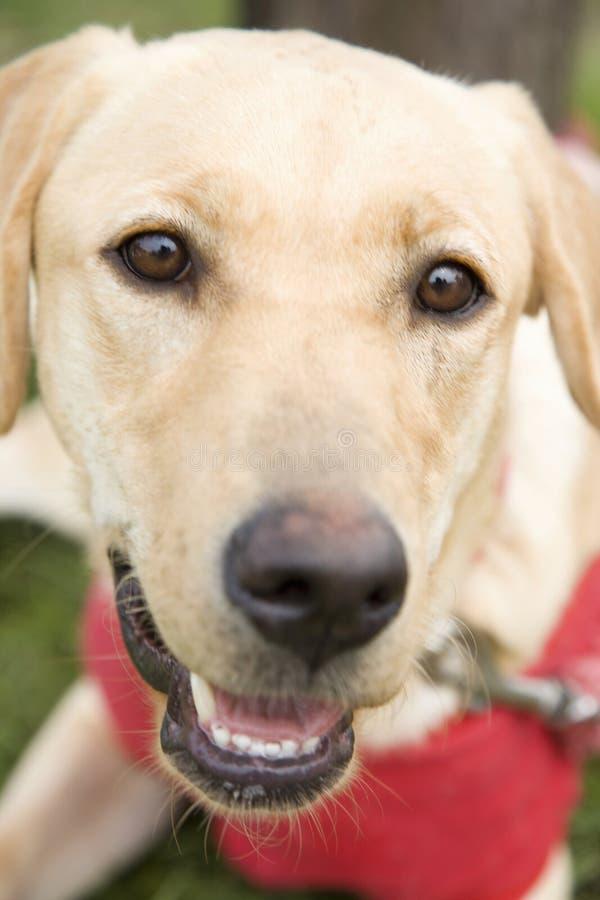 Labrador-Apportierhund stockfotos